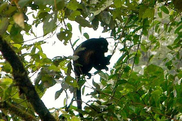 Howler monkey seen from hanging bridge.