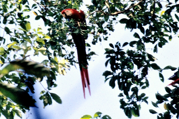 Scarlet macaw in Carara National Park.