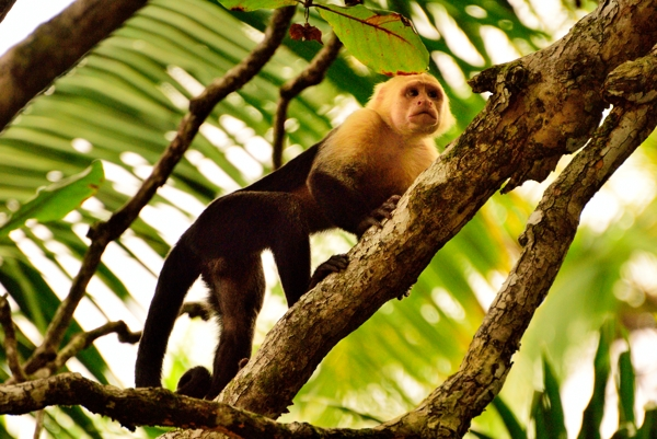 White faced monkey in Corcovado National Park.