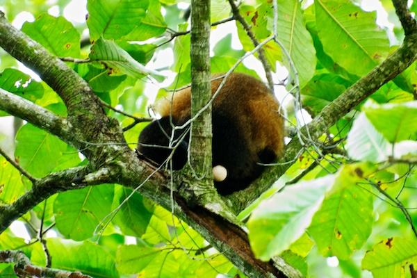A monkey sleeping high in a tree at Manuel Antonio National Park.