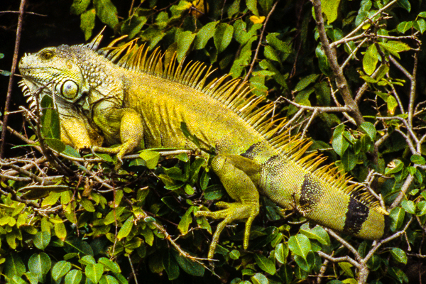 Very large iguana on the riverbank in Palo Verde National Park.
