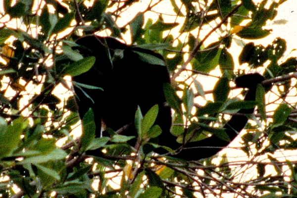 Howler monkey in Palo Verde National Park.