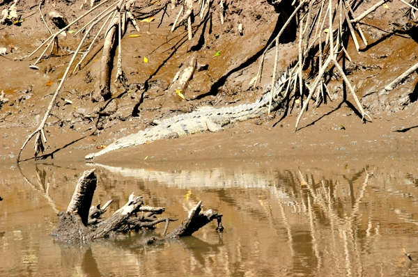 Crocodile with reflection in the Tarcoles River.