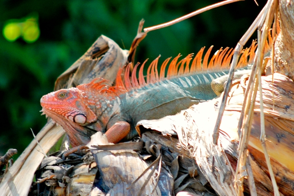 Large iguana on the riverbank of the Tarcoles River.