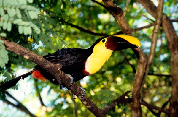 Toucan at Tilajari.