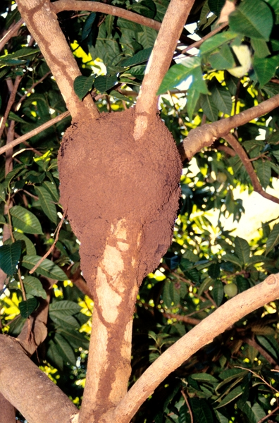 A termite nest up in a tree on Tortuga Island.