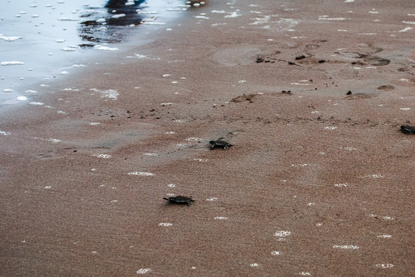 Baby turtles that just came out of their nest on the beach, and are running to the Caribbean Sea.