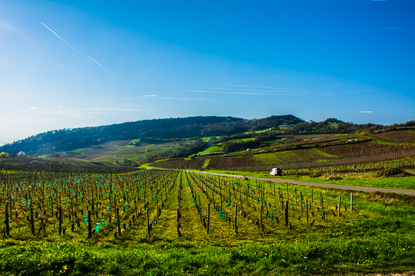 Vineyard in Burgundy, France.